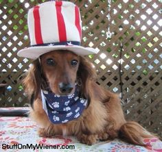 Happy Tuesday from Rocco, the patriotic wiener dog! #puppy #patriot