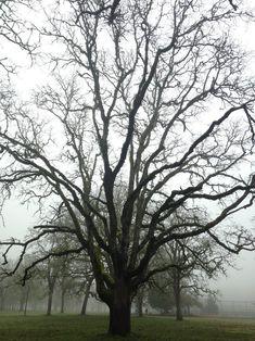Bush Pasture Park, Salem, Oregon: Oak savanna–>Pasture–>City park (open-grown Garry oaks intact)