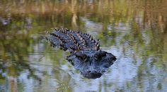 This is a beautiful alligator, that was swimming right towards me as I was taking his picture. South Carolina USA.  Thank you for looking at my Photography!!!