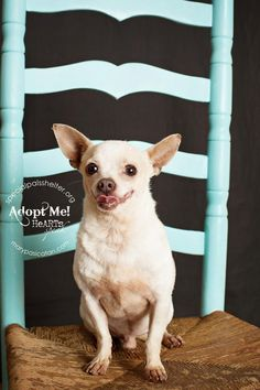 07/29/14 sl ~ Pinky Chihuahua • Adult • Male • Small Special Pals Animal Shelter Houston, TX