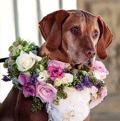 Floral Dog Collar, a Flower Gallery Biltmore Estate Wedding attendant Vizsla, Cat Wedding, Wedding Dogs, Dream Wedding, Perfect Wedding, Wedding Stuff, Flower Crown Wedding, Pet Costumes, Dogs Of The World