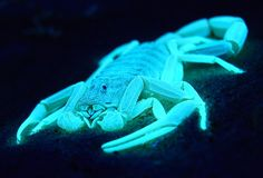 A scorpion's entire exoskeleton may act as one giant light receptor, a full-body proto-eye that detects shadows cast by moonlight and starlight.