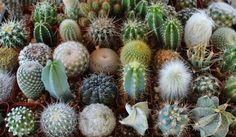 Cactus For Sale THIRTY Cactus Assorted Collection Awesome for Party or Wedding Favors and Gifts succulents plants lot - Darby Smart Succulent Table Decor, Succulent Favors, Cactus Decor, Succulent Pots, Planting Succulents, Cactus For Sale, Succulents For Sale, Cactus Types, Plantas Bonsai