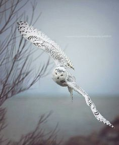 Owl in flight from a really cool angle.