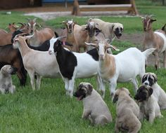 Anatolian Shepherd-learning to bond with the herd. Pups in training.