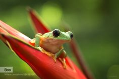 Gliding Leaf Frog by mariskab. Please Like http://fb.me/go4photos and Follow @go4fotos Thank You. :-)