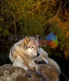 stock photo of magnificent gray wolf canis lupus relaxing atop a rock