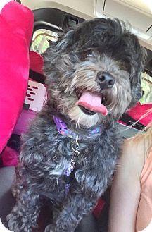 Prior Lake Mn Shih Tzu Poodle Standard Mix Meet Dollie A