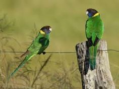 28 parrots Aussie bird! Very pretty green but I would wish that didn't eat my rose buds & vegetable seedlings !!