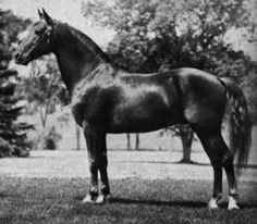 morgan horse | ... Morgan horse website and found a picture that showed the type of horse