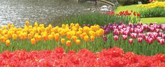 Tulips in the Netherlands-my boss went here...I think....did you CharChar?