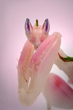 #photography #macro The Orchid Mantis (Hymenopus coronatus) is called so, because it mimics orchid flowers. They are usually white, but some of them grow little tints of pink over time. They live in papaya trees, orchids and frangipiani trees with flowers in Malaysia, Indonesia & Sumatra.