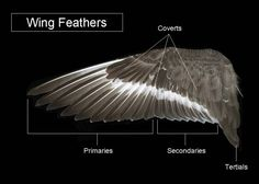 The Feather Atlas - Feather Identification and Scans - U.S. Fish ...