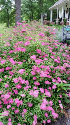 Neon flash spirea. Full Sun, Height 3', Spacing 3'