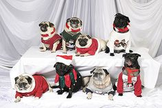 Awkward Pug Christmas Photo