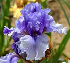 IRIS: TB Iris germanica 'Cool Mist' (Johnson, 2012)