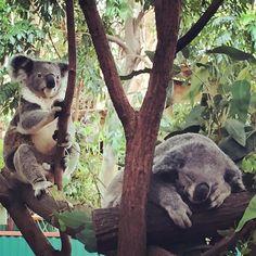 Cuddly Koala's @currumbin_wildlife_sanctuary #koalas #currumbinwildlifesanctuary #sleepykoala by edwinagrace http://ift.tt/1X9mXhV