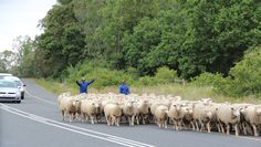 Just outside the picturesque little town of Swellendam - Farm employees trying to control the sheep and vehicles on the main road.