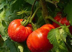 Garden Gates, Gardening Tips, Flora, Food And Drink, Vegetables, Diet, Rustic, Flowers, Lawn And Garden
