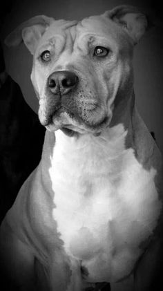 Love...love this B & W pit bull photo!