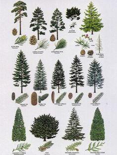 Pines identification