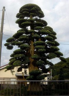 niwaki podocarpus Topiary Garden, Garden Trees, Japanese Tree, Unique Trees, Hells Kitchen, Diy Garden Projects, Tree Leaves, Tree Art, Tree Of Life