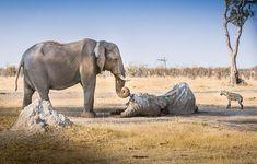 Parkranger in Botswana haben den Leichnam des verstorbenen Elefanten gefunden. Als sie ihn beseitigen wollten, kam eine Elefantenkuh aus einem nahen Gebüsch gestürmt. Sie stellte sich trauernd vor ihren toten Gefährten und berührte mit ihrem Rüssel dessen Stoßzähne. Mehrere Stunden lang harrte sie aus und verhinderte so, dass sich Aasfresser, wie die wartende Hyäne an dem Elefantenkörper zu schaffen machen – herzzerreißend.