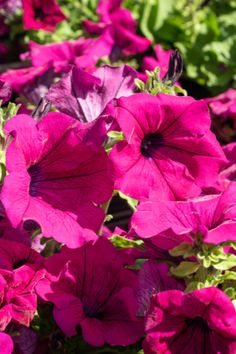It is hard to beat the color and beauty of wave petunias blooming in all their glory. Learn how to keep your waves blooming and booming all summer long! Petunia Care, Petunia Plant, Plants To Attract Hummingbirds, Coral Bells Plant, Bee Balm Plant, Geranium Care, Hummingbird Plants, Garden Soil, Garden Plants