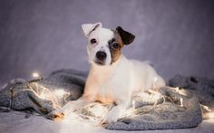 Download wallpapers Parson Russell Terrier, puppy, small dog, pets, dogs, garland, New Year