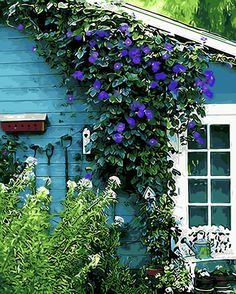 Glory Vines I have always loved the morning glory vine. I think I will plant some to climb up our mailbox and lamp post.I have always loved the morning glory vine. I think I will plant some to climb up our mailbox and lamp post. Morning Glory Vine, Morning Glory Flowers, Morning Glories, Morning Morning, Wall Climbing Plants, Climbing Flowers, Landscape Design, Garden Design, Turquoise Cottage