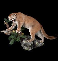 mountain lion taxidermy mount - Google Search