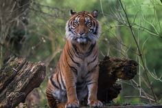 Tiger Lili by Jürgen Sprengart - Photo 133590565 - 500px