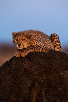 Photograph by Ross Couper Cheetah, Panther, Cute Animals, Wildlife, Photograph, Fluffy Puppies, Cheetah Animal, Pretty Animals, Photography