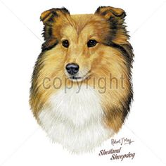 Shetland Sheepdog..... T shirt..Women's Cut..SM-3XL..many colors by GreyDogFarm on Etsy (null)