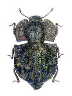 Tarphius monstrosus Wollaston, (Colydiidae)1865