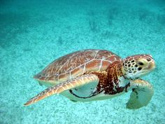 Turtle Snorkeling in Akumal at Riviera Maya, Mexico---beautiful photo!