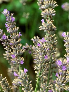 'Lady' English Lavender - 'Lady' is an All-America Selections award winner that blooms the first year from seed, meaning you can grow it as an annual. The variety is compact and offers silvery-green foliage punctuated by spikes of purple-blue flowers in summer