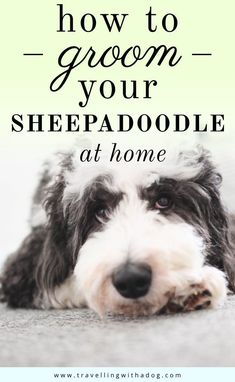 Doodle grooming requires a few extra tools in order to cater to their unique coat. Learn everything you need to know about grooming your dood! Dog Grooming Tools, Dog Grooming Supplies, Poodle Grooming, Dog Grooming Business, Dog Supplies, Sheepadoodle Puppy, Goldendoodle, Yorkie, Poodle Mix Breeds