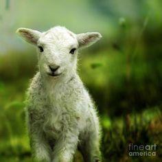 Welsh Lamb Canvas Print / Canvas Art by Angel Tarantella