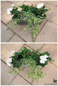 trzmielina pelargonia Fall Window Boxes, Window Box Flowers, Flower Boxes, Balcony Plants, House Plants, Walled Garden, Perfect Plants, Summer Flowers, Dream Garden