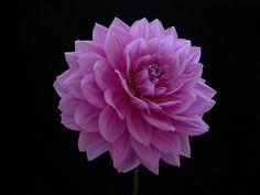 Lavender 'Kari Blue' dahlia Blue Dahlia, Growing Dahlias, Lavender, Rose, Flowers, Plants, Bb, Gardening, Dahlias