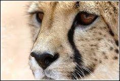 """Résultat de recherche d'images pour """"tete de guepard"""""""