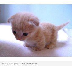Munchkin Kitten...awwww