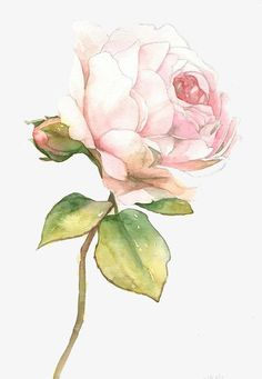 Pink,Roses,plant,Green leaves