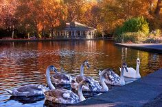 Swans In Stephen's Green / Dublin Print by Barry O Carroll Grafton Street, Dublin City, Swans, Nature Photos, Fine Art America, Pond, Nature Photography, Instagram Images, Swimming