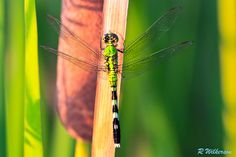 Hangin Out  #dragonfly #insect #nature #photography #500px