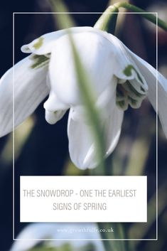 This is not your average native snowdrop - I guess it has escaped from a garden and settled where you wouldn't expect it! ⠀I was so excited when I saw it as it was early in the season.    How do you feel when you spot your first snowdrop?    Are there some planted near to your front door so you can enjoy that feeling each time you pass? ⠀⠀  If not how about it.  It's best to buy them 'in the green' so you know they will flower.  ⠀⠀  #winterplanting #thatwinterspringthing #snowdrop Winter Flowers, Spring Flowers, Spring Starts, Primroses, Near To You, Spring Sign, Winter Springs, Do You Feel, Time Of The Year