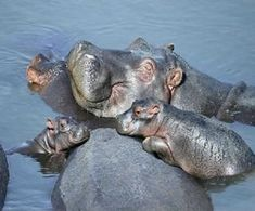 This is a gallery of adorable baby hippo pictures that will make you smile in ways never knew possible. If you know a thing or two about the hippopotamus, Cute Baby Animals, Animals And Pets, Funny Animals, Wild Animals, Green Animals, Happy Animals, Nature Animals, Mundo Animal, My Animal