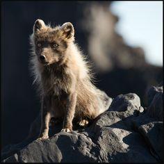 arctic fox by Raymó