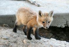 Cutest Baby Fox | Baby Fox- Source